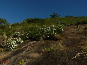 Canelas-de-ema brancas florindo o costão