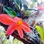 Orquídeas Sophronites sp no caminho